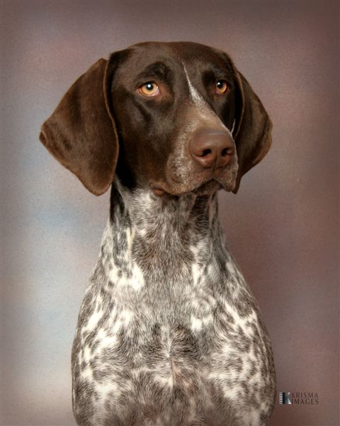german short haired pointer - photo #30
