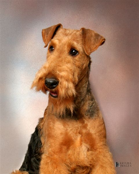 Airedale Terrier Gallery
