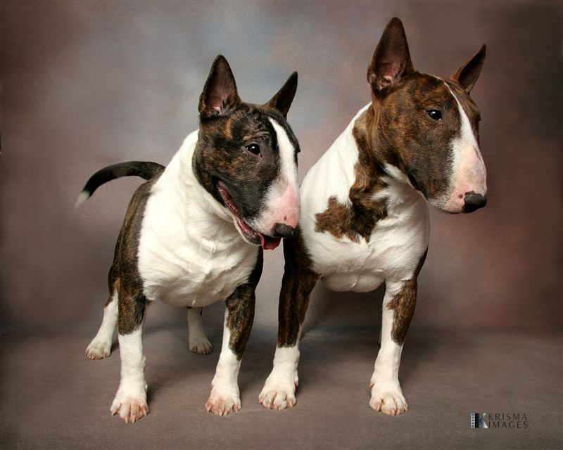 Dog owned by Envision Registan Miniature Bull Terriers